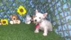 Charlie West Highland White Terrier (13)