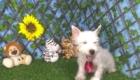 Charlie West Highland White Terrier (15)