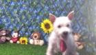 Charlie West Highland White Terrier (16)