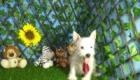 Charlie West Highland White Terrier (17)