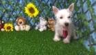 Charlie West Highland White Terrier (18)