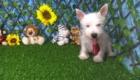 Charlie West Highland White Terrier (19)