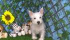 Charlie West Highland White Terrier (2)