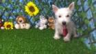 Charlie West Highland White Terrier (20)