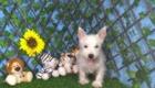 Charlie West Highland White Terrier (3)