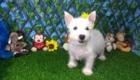 Charlie West Highland White Terrier (4)