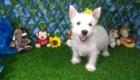 Charlie West Highland White Terrier (5)