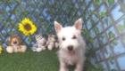 Charlie West Highland White Terrier (6)