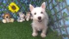 Charlie West Highland White Terrier (7)