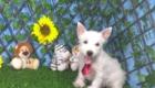 Charlie West Highland White Terrier (8)