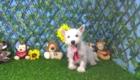 Charlie West Highland White Terrier (9)