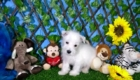 Elliot West Highland White Terrier (1)