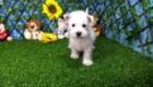 Elliot West Highland White Terrier (10)