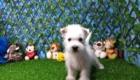 Elliot West Highland White Terrier (11)