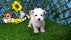 Elliot West Highland White Terrier (13)