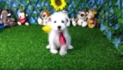 Elliot West Highland White Terrier (2)