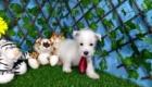 Elliot West Highland White Terrier (3)