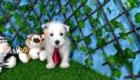 Elliot West Highland White Terrier (6)