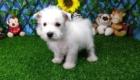 Elliot West Highland White Terrier (7)