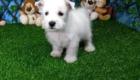 Elliot West Highland White Terrier (8)