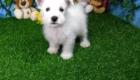 Elliot West Highland White Terrier (9)