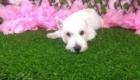 Lisa West Highland White Terrier (1)