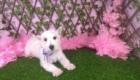 Lisa West Highland White Terrier (10)