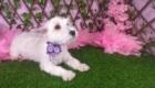 Lisa West Highland White Terrier (11)