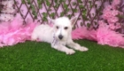 Lisa West Highland White Terrier (12)