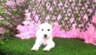 Lisa West Highland White Terrier (2)
