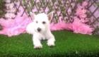 Lisa West Highland White Terrier (3)