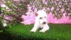 Lisa West Highland White Terrier (4)