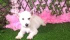 Lisa West Highland White Terrier (5)