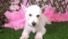 Lisa West Highland White Terrier (6)