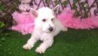 Lisa West Highland White Terrier (7)