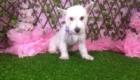 Lisa West Highland White Terrier (8)