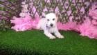 Lisa West Highland White Terrier (9)