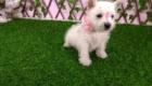 Sofia Westie Terrier (1)