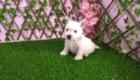 Sofia Westie Terrier (10)
