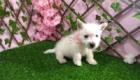 Sofia Westie Terrier (11)