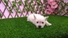 Sofia Westie Terrier (12)