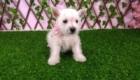 Sofia Westie Terrier (2)