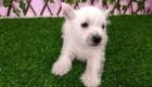 Sofia Westie Terrier (3)