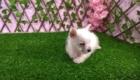 Sofia Westie Terrier (4)