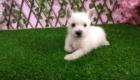 Sofia Westie Terrier (5)