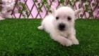 Sofia Westie Terrier (6)