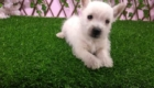 Sofia Westie Terrier (7)