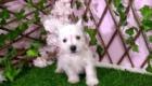 Sofia Westie Terrier (8)