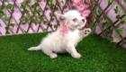 Sofia Westie Terrier (9)