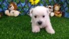 West Terrier Zeus (1)